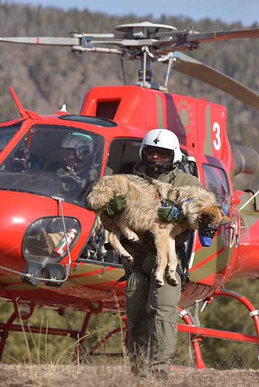 During helicopter population surveys, the Game and Fish department will capture and recollar wolves for tracking. Photo by George Andrejko, AZ Game and Fish Department.