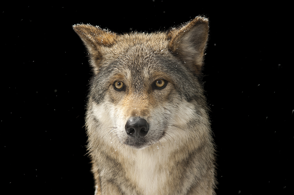 """It's a mistake to ... expect every wolf to take extra steps to avoid encounters with humans. Some wolves are just naturally curious."" Photo by Joel Sartore, National Geographic Creative."
