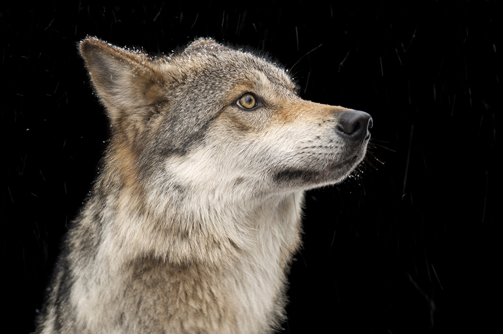 A Mexican wolf. Photo by Joel Sartore, National Geographic Creative.