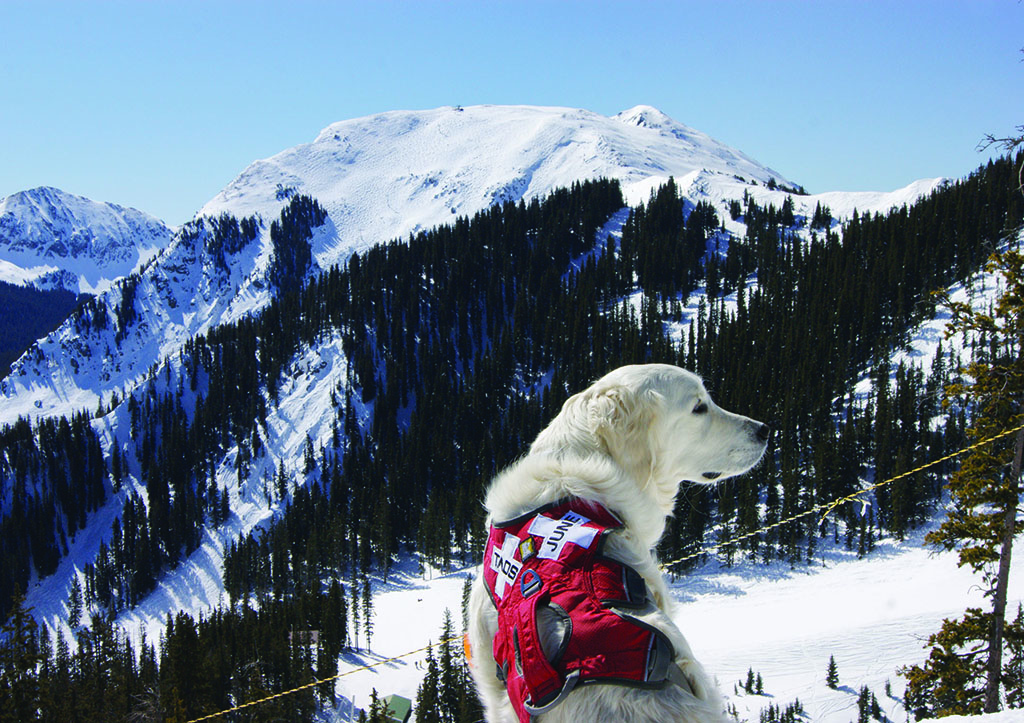 Juniper (aka June) is one of four avalanche rescue dogs who patrol the slopes of Taos.